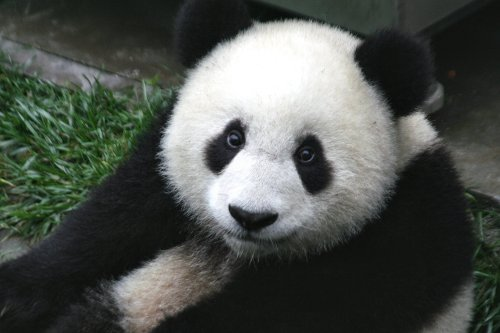 Un gros panda comme on les aime
