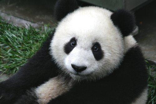 Un gros panda comme on les aime